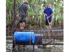 crocodile-harvesting-2009-3.jpg