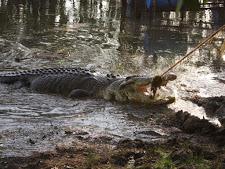 crocodile-harvesting-2009-4.jpg