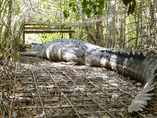 crocodile-harvesting-8.jpg