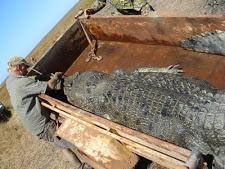 crocodile_harvesting_1L.jpg
