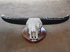 trophy-preparation-water-buffalo-3.jpg