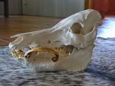 trophy-preparation-wild-boar-skull.jpg