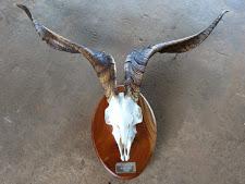 trophy-preparation-wild-goat-1.jpg